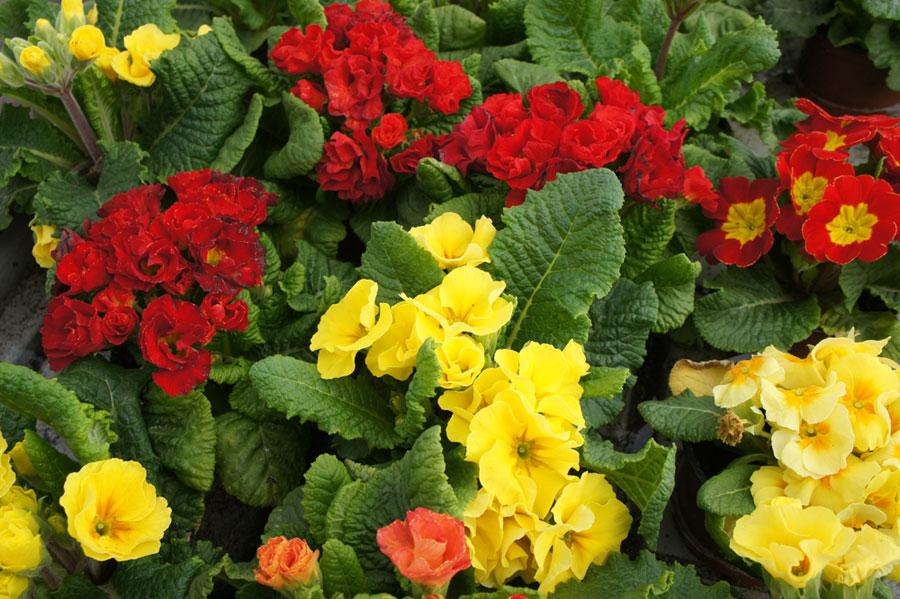 plantas de temporada flores castillon