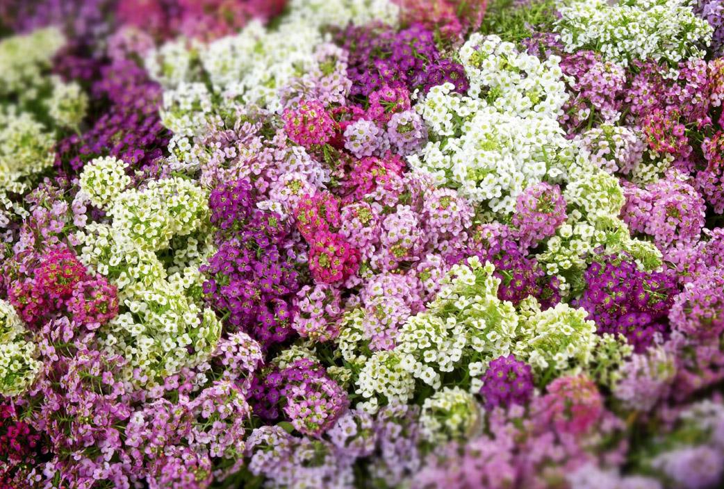 Flores de primavera flores castillon - Plantas de temporada primavera ...