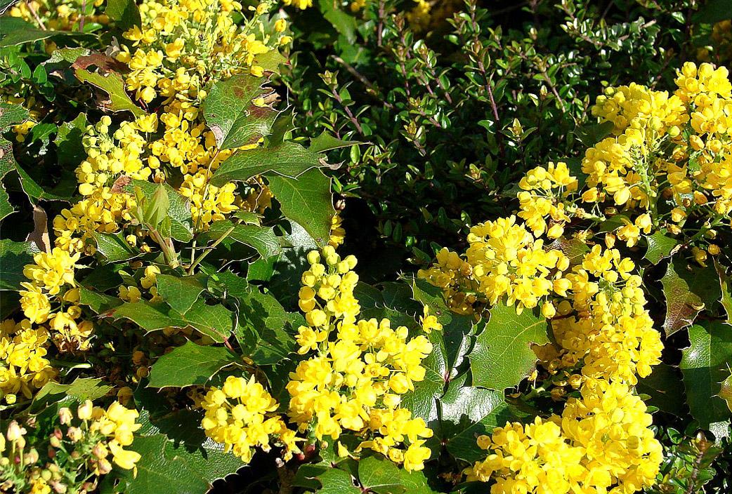 El cuidado de las plantas y el jardin arbusto de flores for Arbustos con flores para jardin