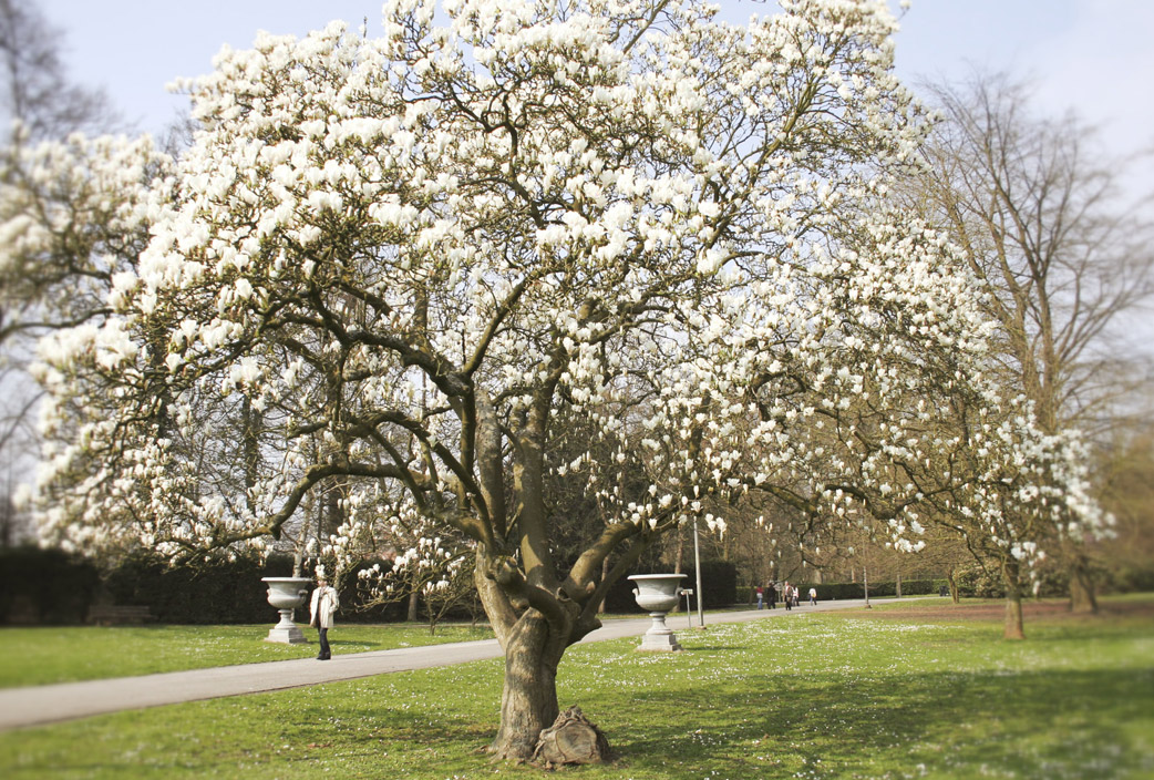 Magnolia soulangeana la reina de los parques flores - Magnolia planta cuidados ...