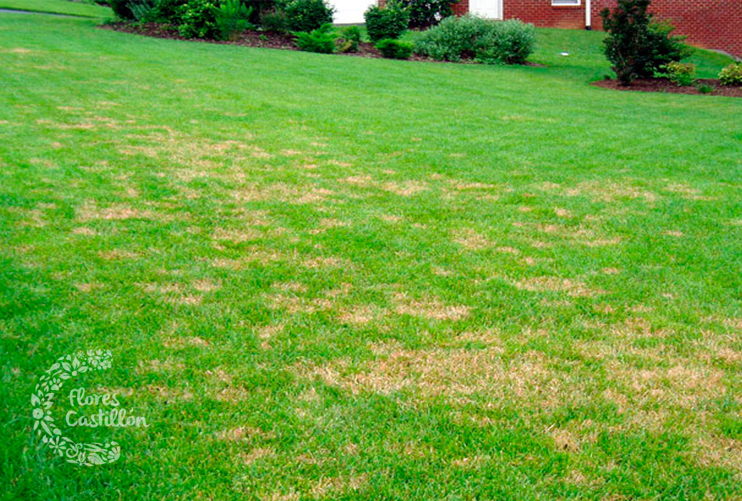 brown-patch-lawn-1