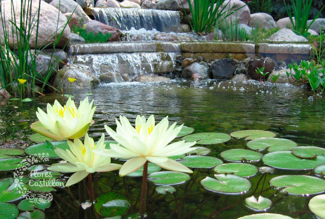 Acu ticas al agua plantas flores castillon for Como oxigenar el agua de un estanque para peces