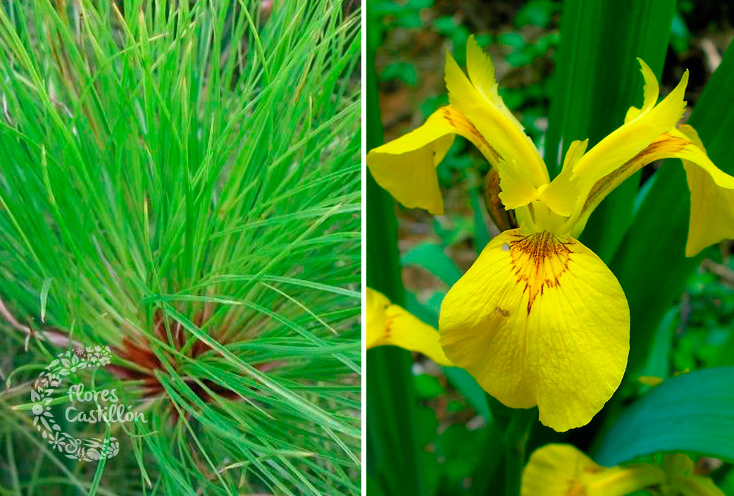 Acu ticas al agua plantas flores castillon for Plantas para estanques de agua fria