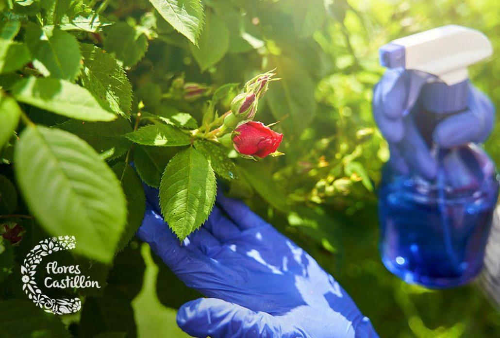como evitar las plagas de los rosales