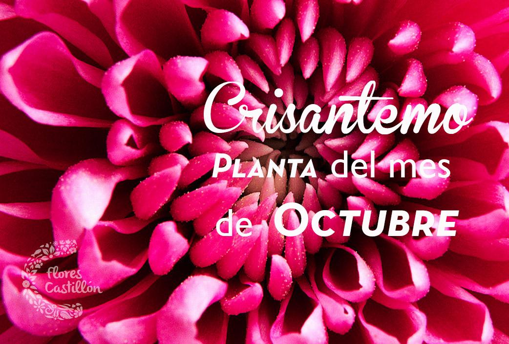 crisantemo2