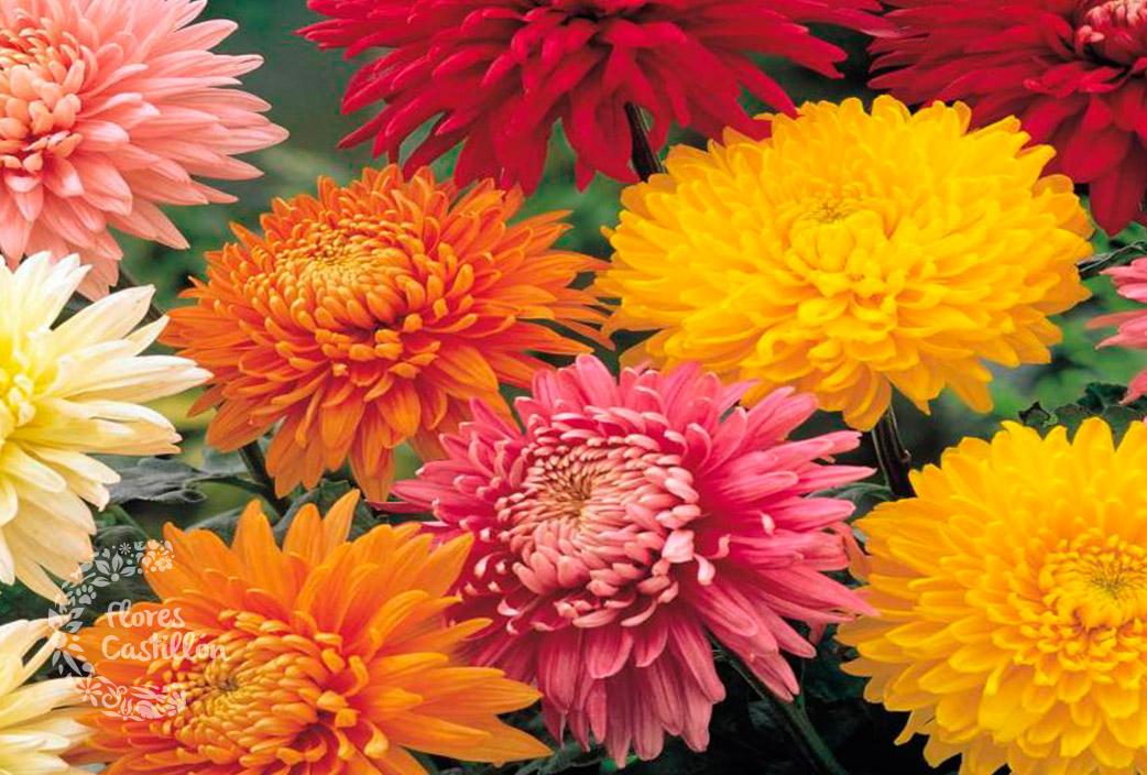 crisantemo3