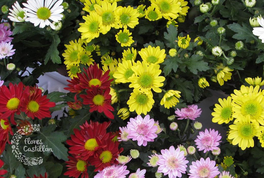 margarita-crisantemo
