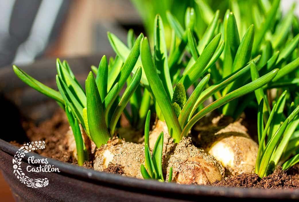 consejos para plantar bulbos correctamente