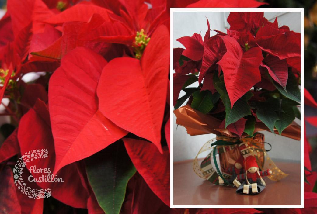 Poinsetia la planta de navidad flores castillon - Cuidados planta navidad ...