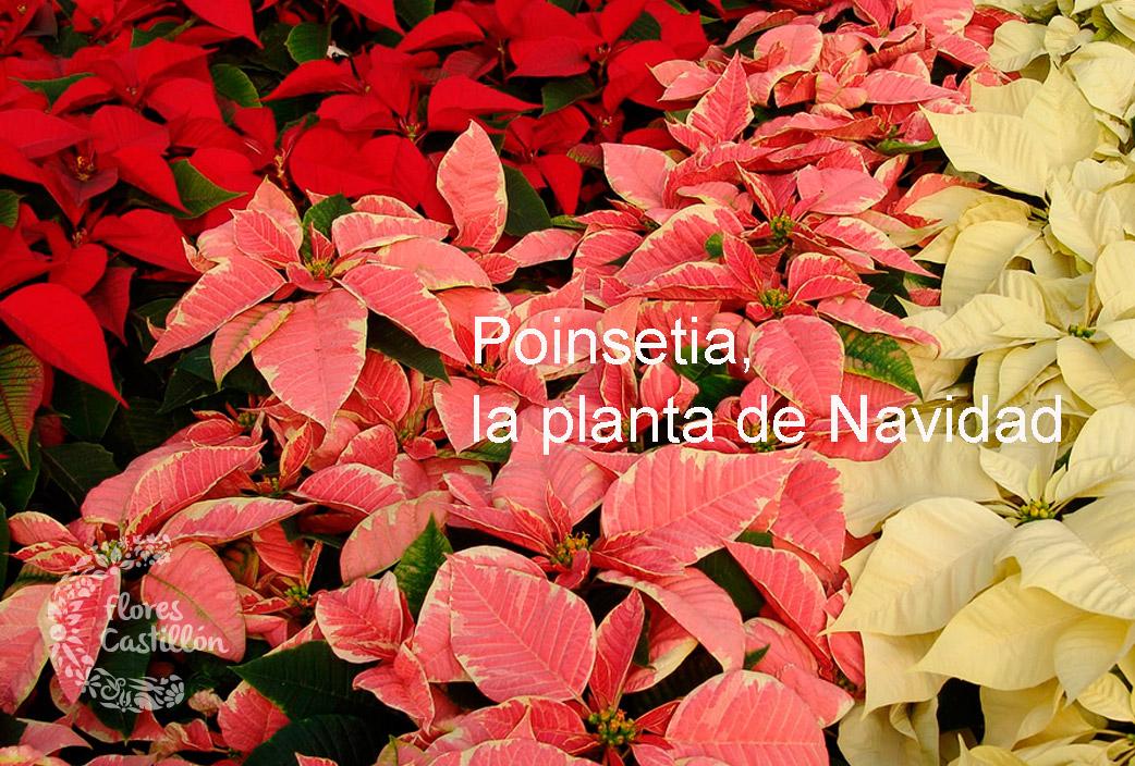 colores-ponsetias