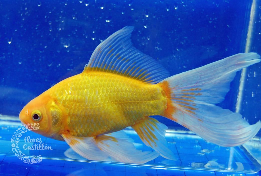 Peces de agua fr a flores castillon for Tipos de peces de agua fria