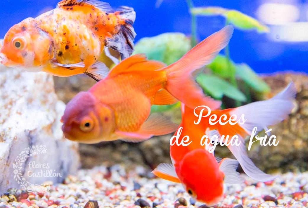 Peces de agua fr a flores castillon for Alimentacion para peces de agua fria