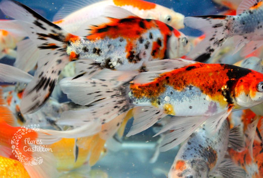 peces de agua fr a flores castillon