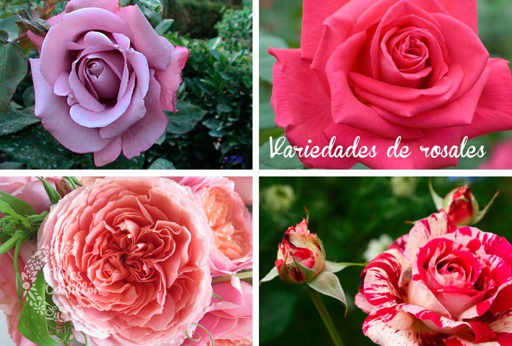 variedadees-rosales