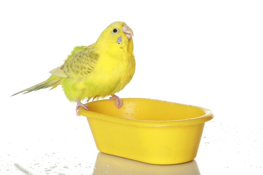 canario bañandose