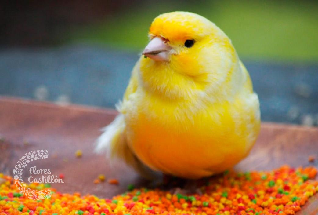 canario-comiendo