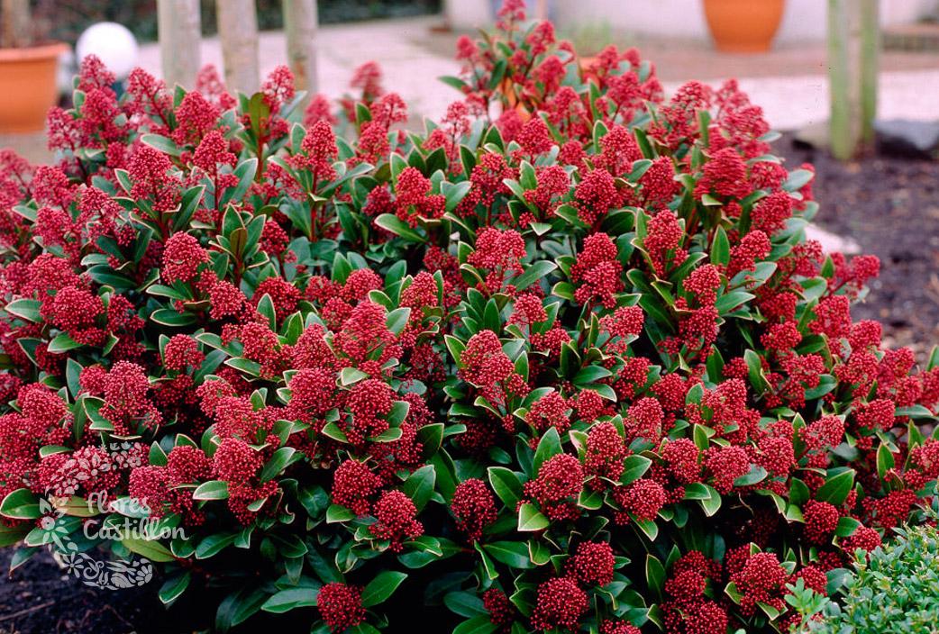 Cu ndo podar los arbustos de flor flores castillon for Arbustos para jardin con flores
