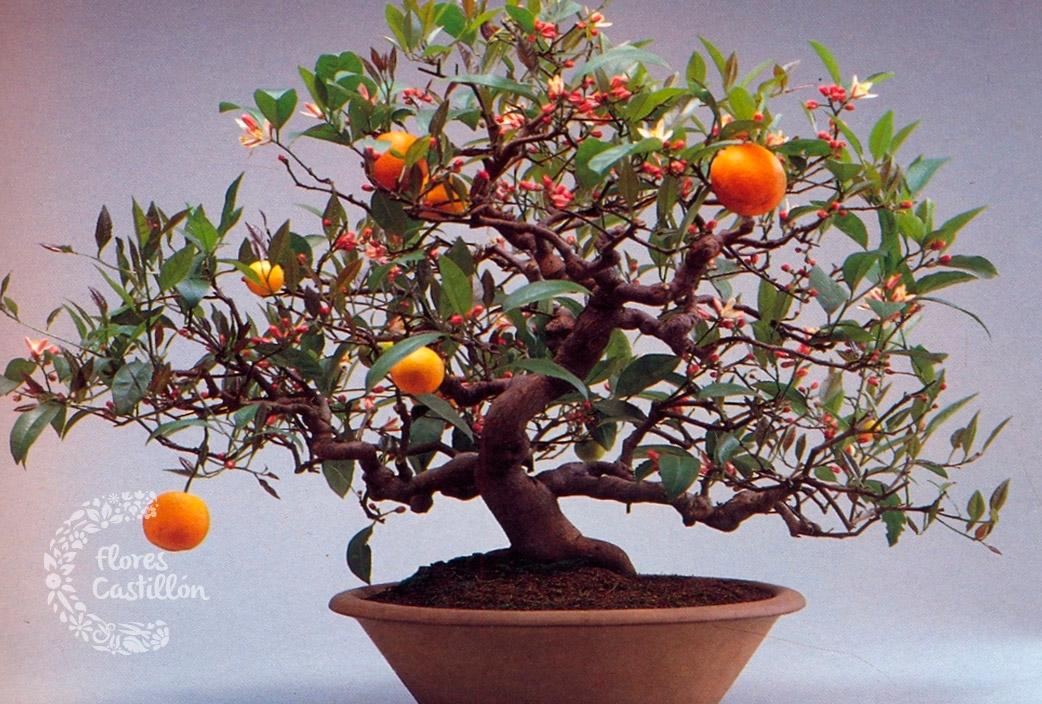 D a del padre te regalo un bons i flores castillon - Como cultivar bonsai ...