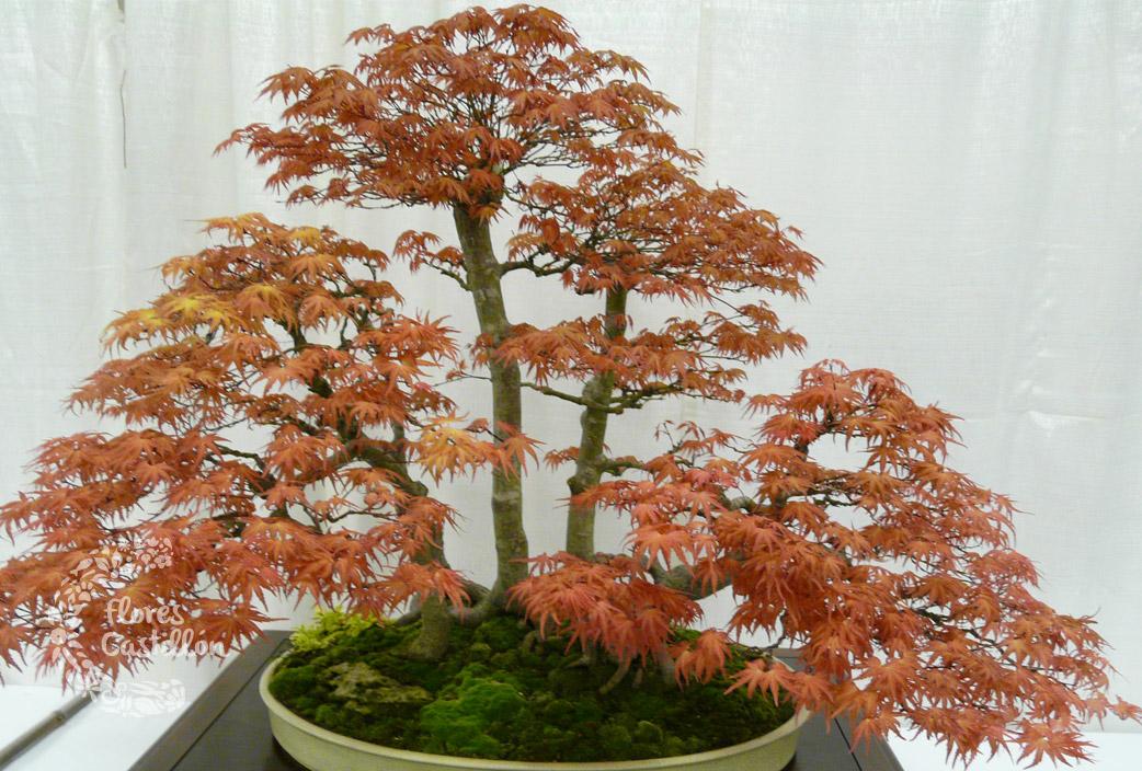 Como cultivar bonsai cmo cultivar marihuana en forma de for Como cultivar bonsais