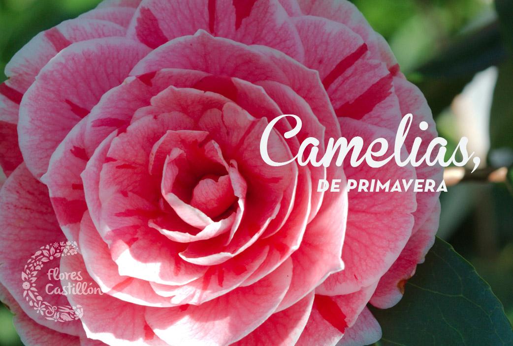 CAMELIAS-DE-PRIMAVERA