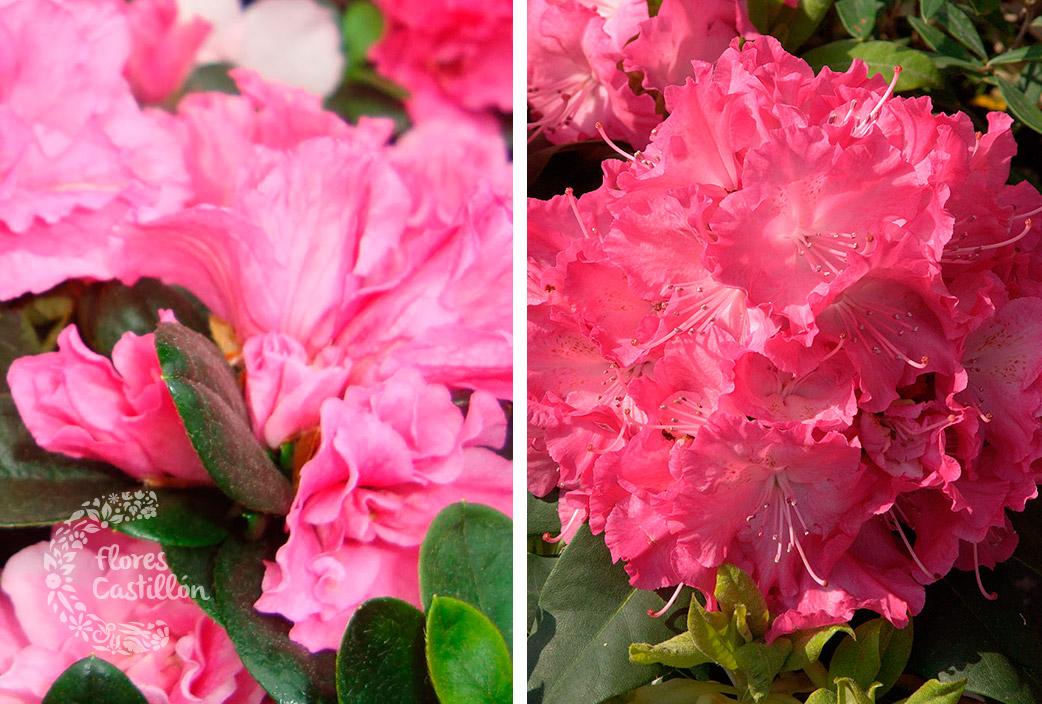 azaleas-y-rododendros