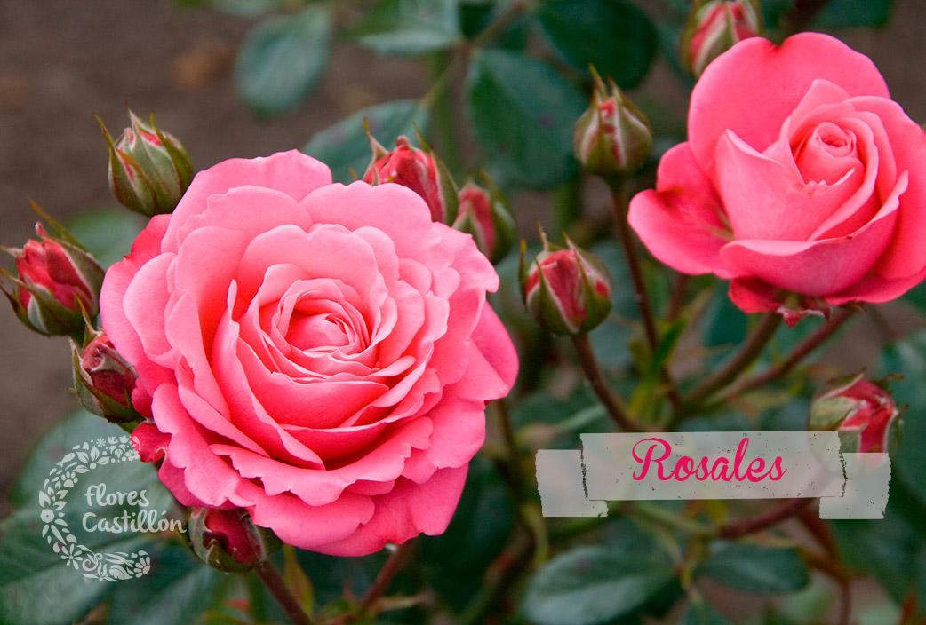 rosalesmadre