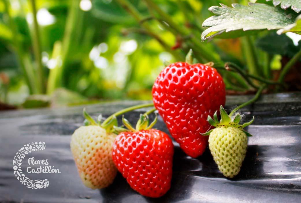 que cuidados necesitan las fresas