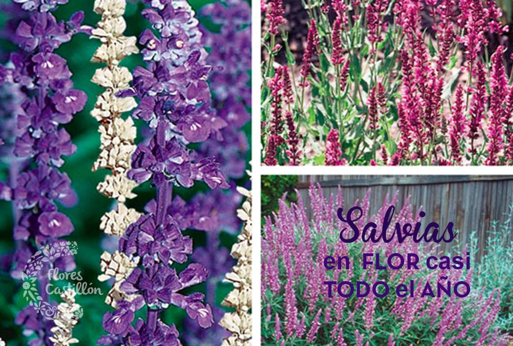 Salvias en flor casi todo el a o flores castillon - Plantas para el jardin todo el ano ...