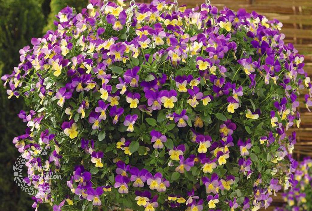 Los pensamientos o violas flores castillon for Plantas de invierno para exterior