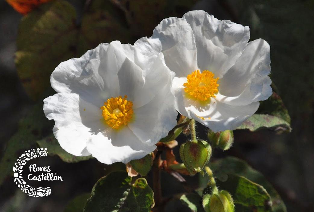 post-flores-1