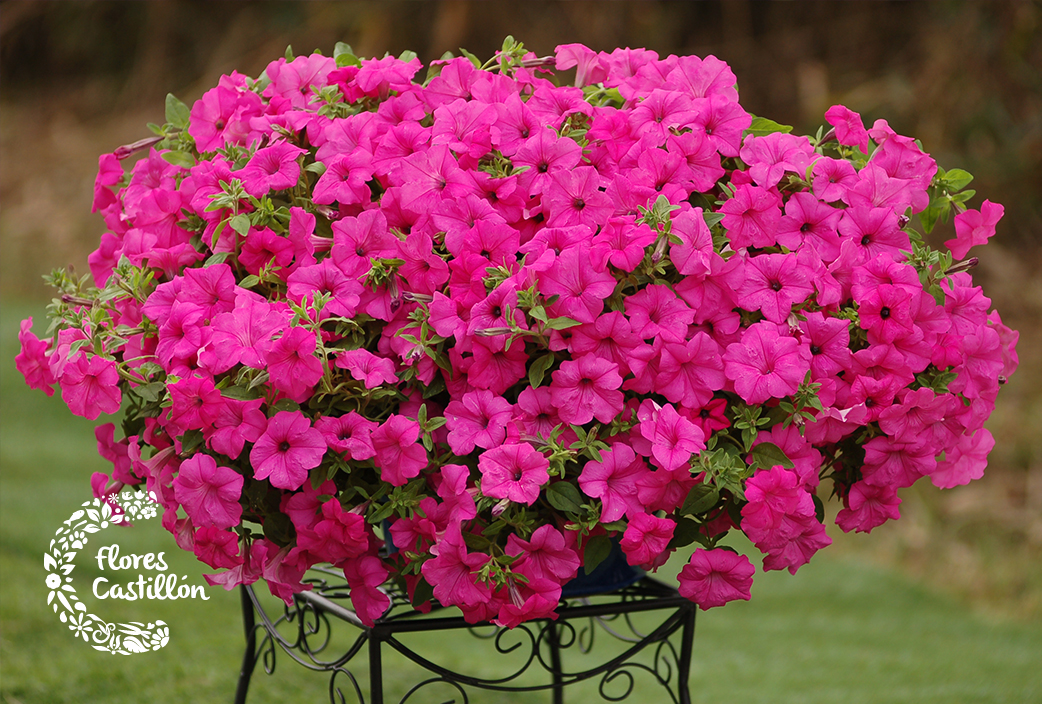 Plantas que florecen en primavera flores castillon - Cuales son las plantas con flores ...