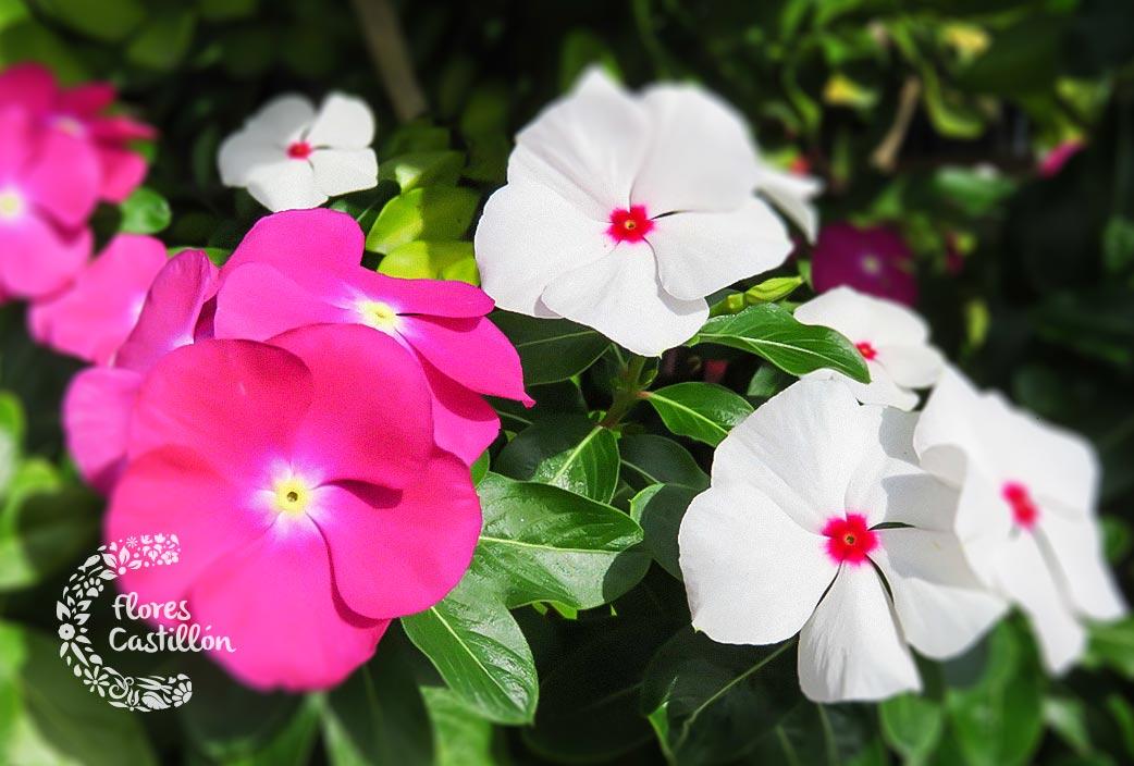 Flores para plantar en verano | Flores Castillon