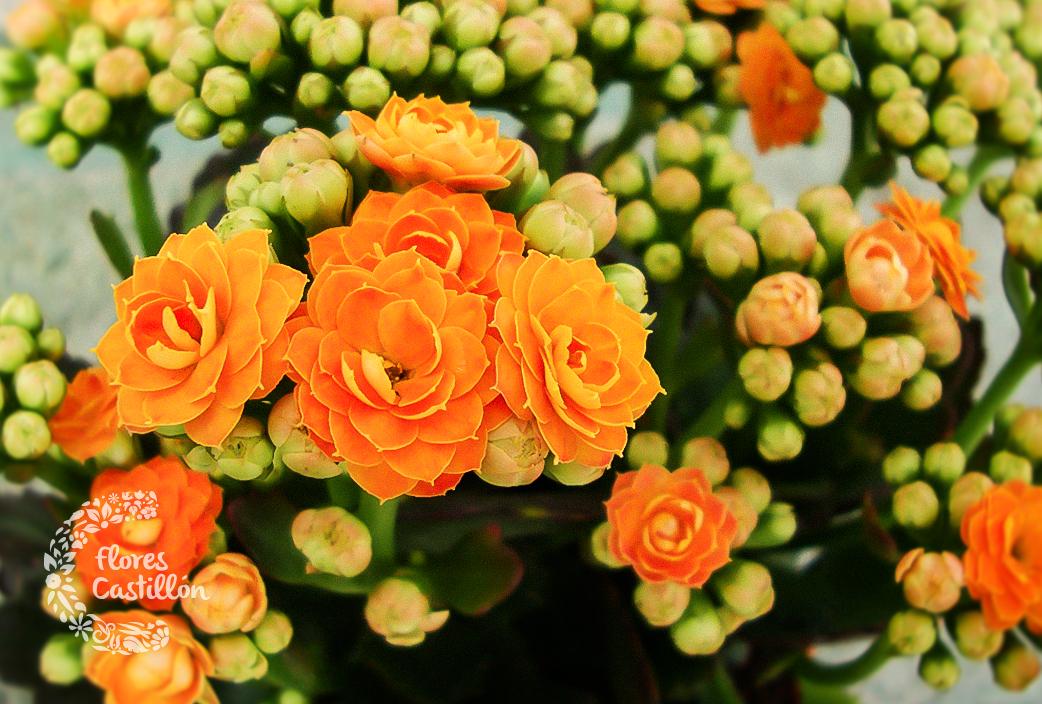 Plantas que florecen todo el a o flores castillon - Plantas de sol directo ...