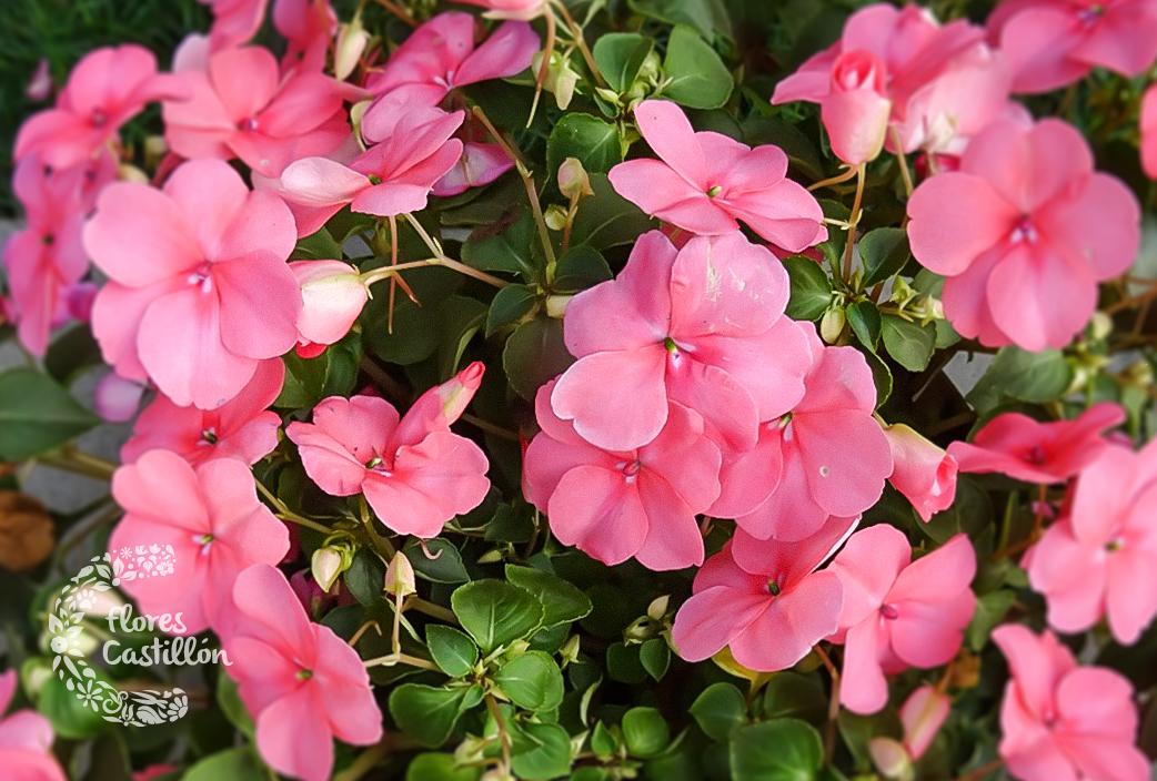 Plantas que florecen todo el a o flores castillon - Alegria planta cuidados ...