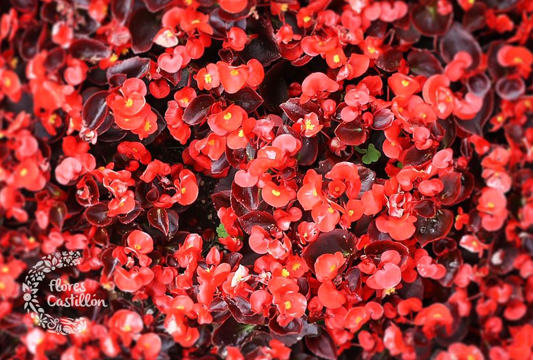 planta_begonia