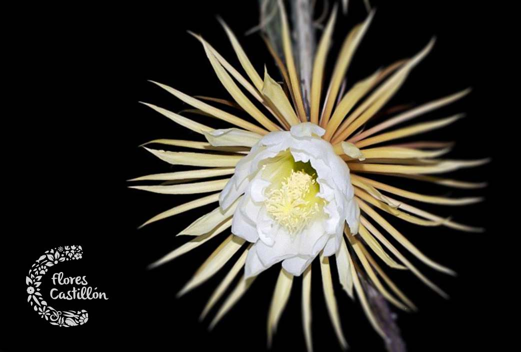 Selenicereus-Grandiflorus