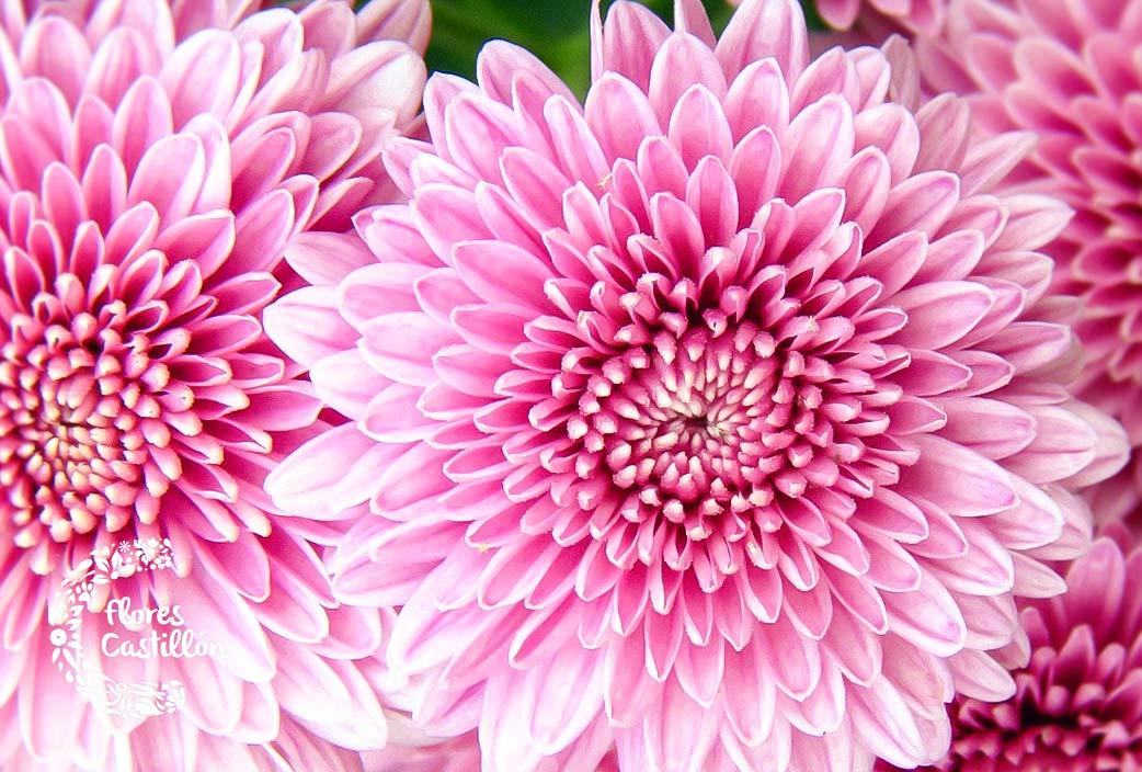 flor-crisantemos-todos-los-santos
