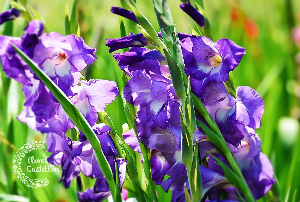 flor-gladiolo-todos-los-santos