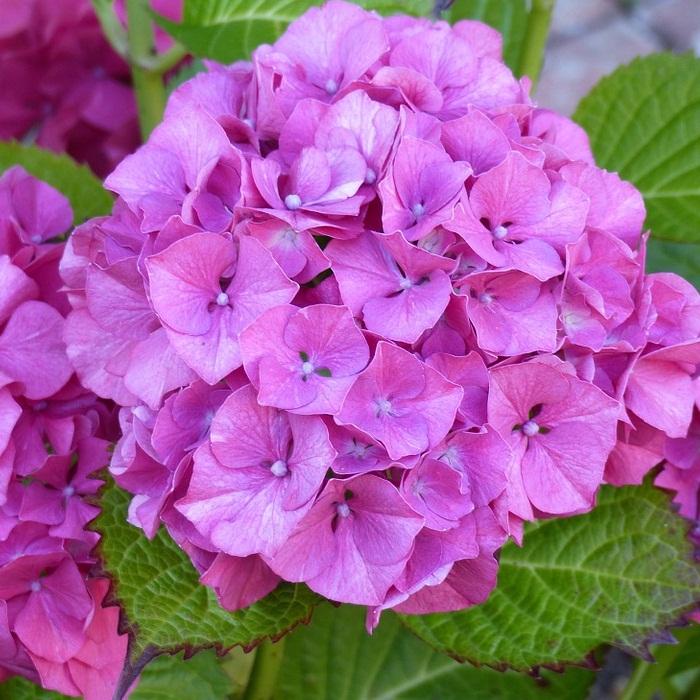 Fotos de hortensias les hortensias du lac updated prices u hotel reviews hossegor france - Cuidar hortensias exterior ...
