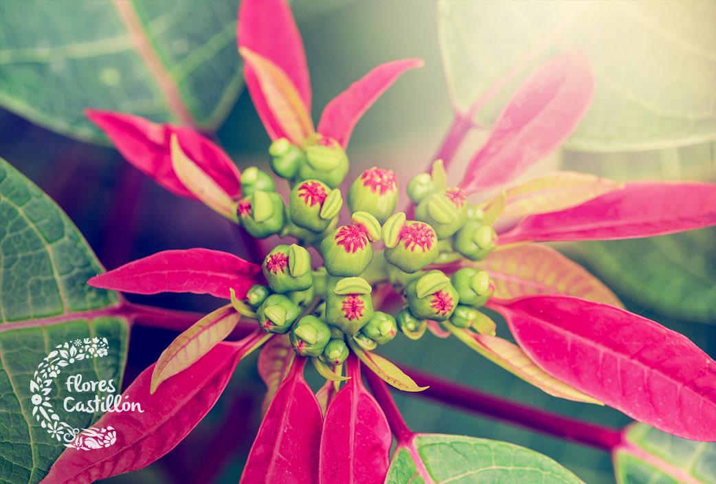 como cuidar la flor de navidad