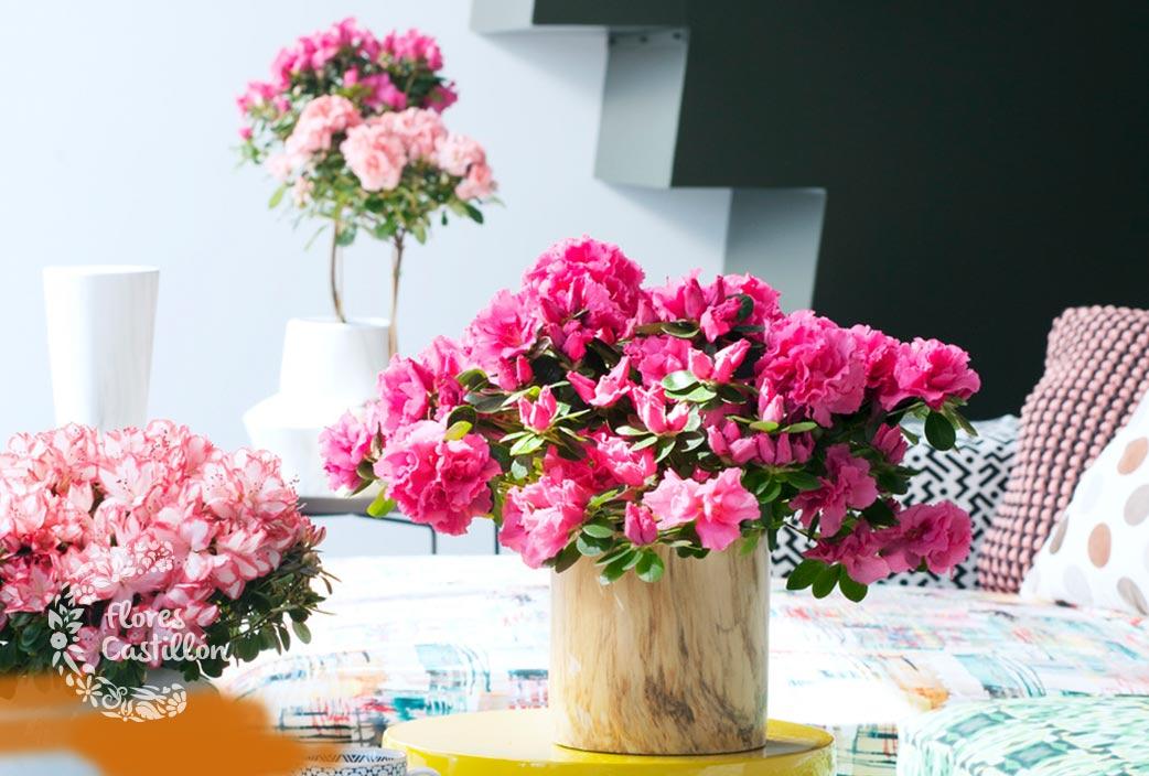 La azalea la planta del mes de enero flores castillon - Azalea cuidados planta ...