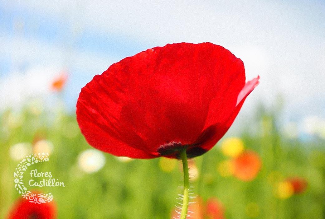 flores-que-se-comen-amapola