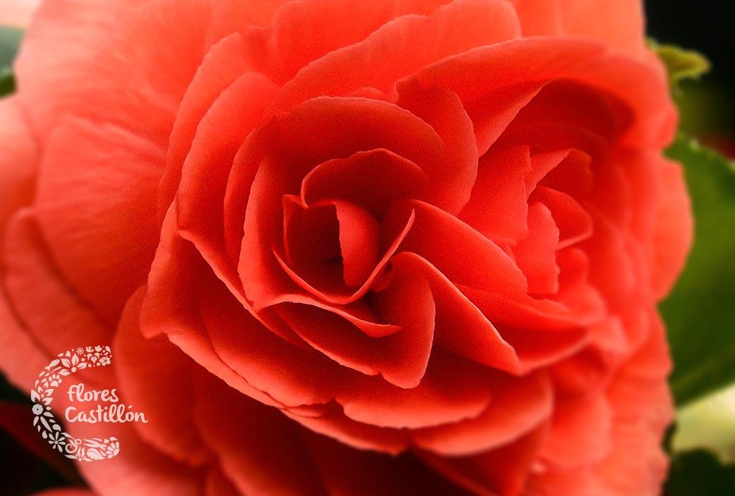 flores-que-se-comen-begonia