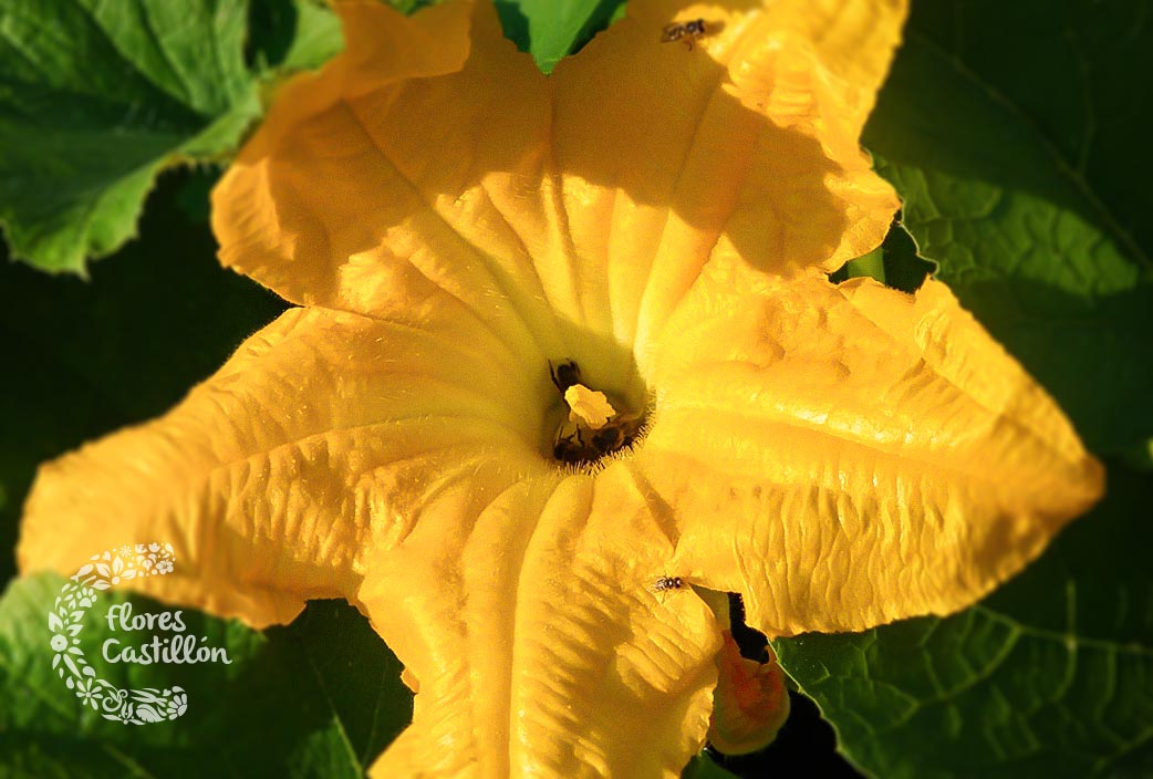 flores-que-se-comen-flor-calabacin