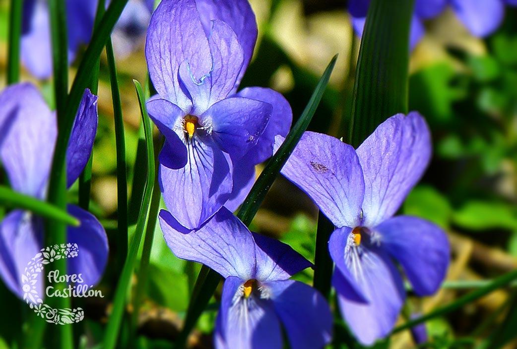 flores-que-se-comen-violeta