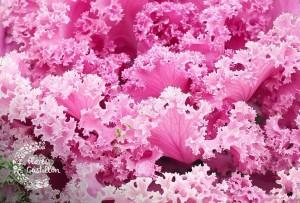col ornamental de jardin para otoño