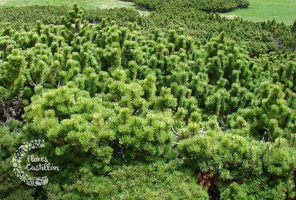 Pinus-Musgo
