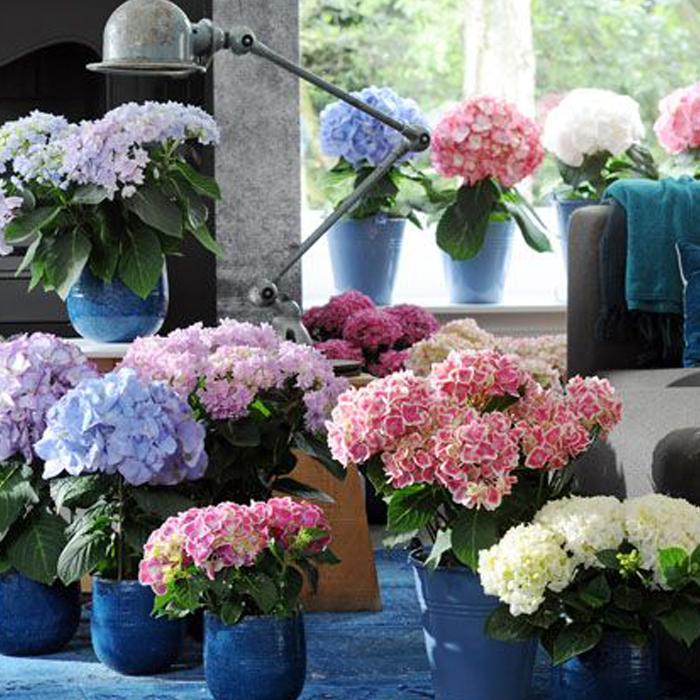 Flores castill n florister as en barbastro y monz n - Hortensias cuidados poda ...