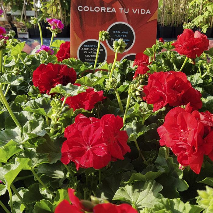 Geranios: Variedades Y Cuidados ¡Pon Tus Balcones En Flor!   Flores  Castillon