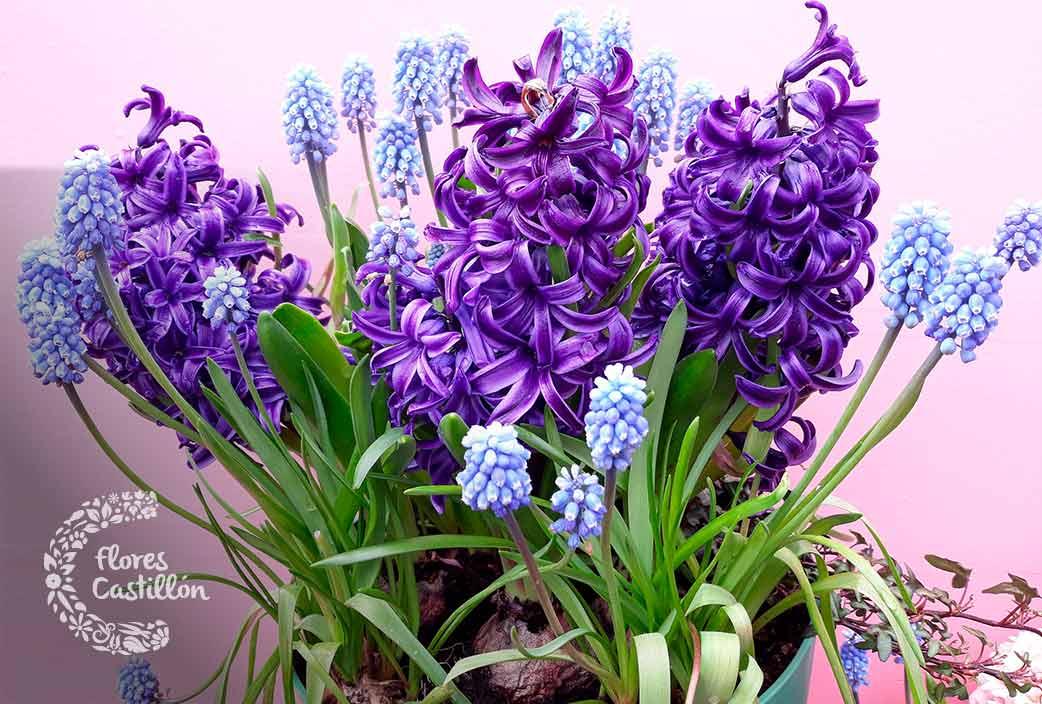 flores exoticas de jacinto para jardin y hogar